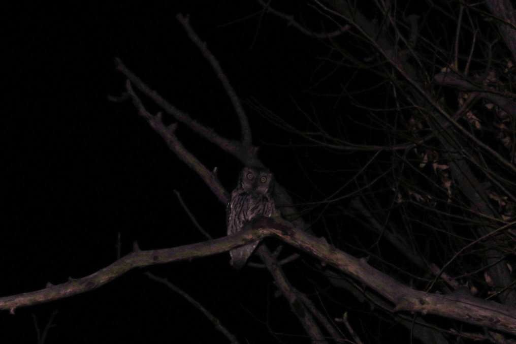 Western Screech-owl hunting in a sit-and-wait position.