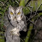 Introducing  the Western Screech-owl