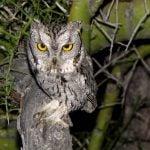 An Adult Western Screech-owl