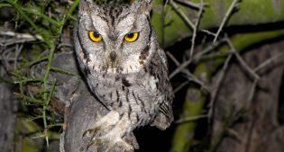Introducing  the Western Screech-owl