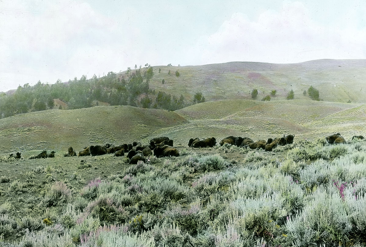 Herd of buffalo in the Bighorn Mountains of Wyoming, cal 1903–1925. MS 95 William A. Petzoldt Lantern Slide Collection. LS.95.29