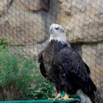 Bald eagle Jade