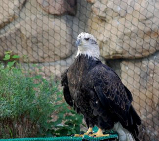 Bald eagle Jade