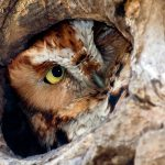 A red morph Eastern Screech Owl looking out from a tree roosting hole.
