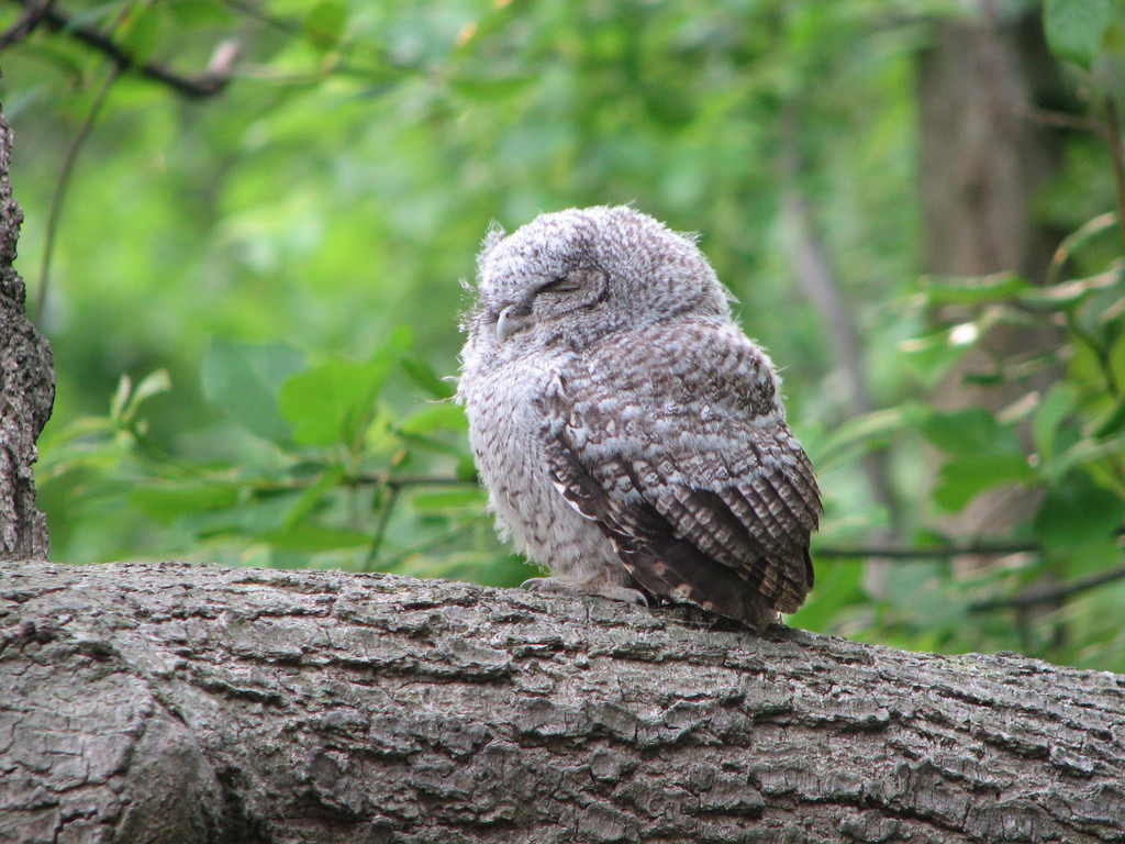 An Eastern Screech-owlet Perched on a Tree Branch