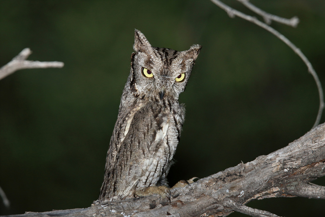 A Western Screech Owl standing tall, so as to look like a branch.