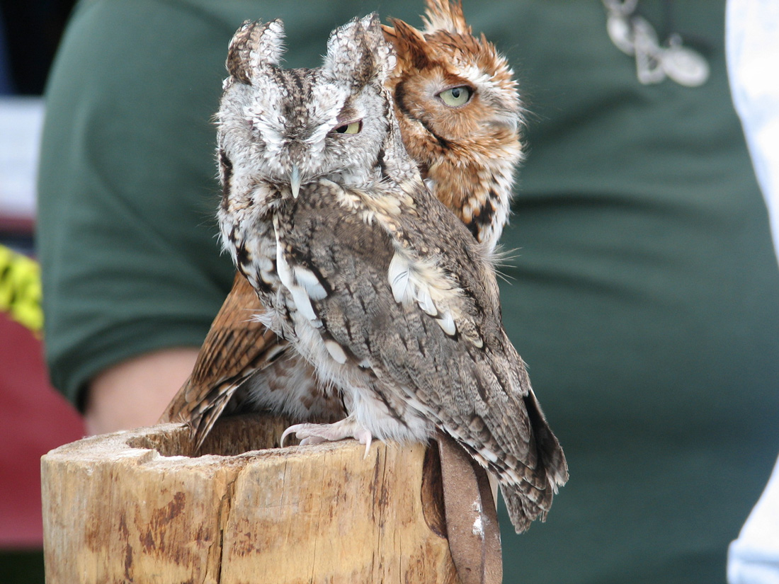 Two Eastern Screech Owls, one red and the other gray perched on a log.