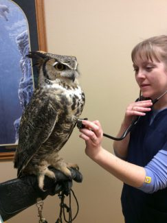 Veterinarian listening to the heart of a great horned owl.