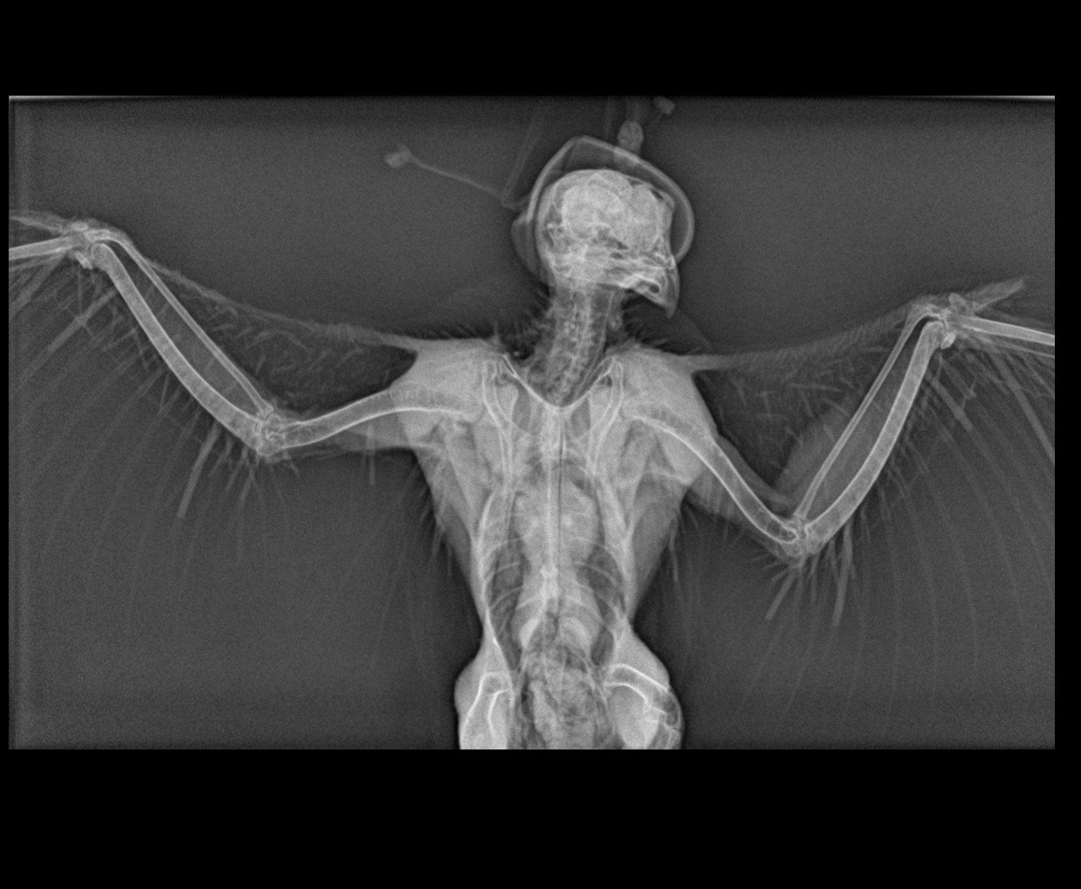 Radiograph of wings of peregrine falcon.