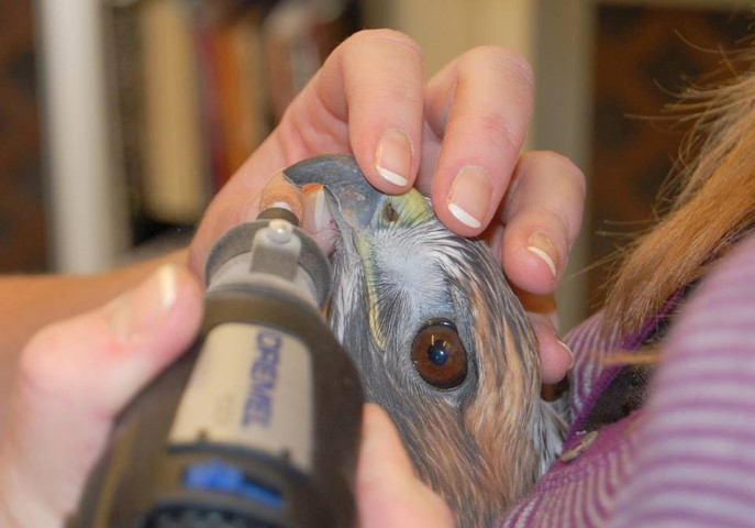 A Dremel tool is used to trim the beak on Isham, the red-tailed hawk.