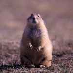 Destin Harrell discusses prairie dogs at the Draper Natural History Museum's March 1 Lunchtime Expedition. Prairie dog, NPS photo by John Good.