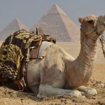 A camel near Giza,. Mark Jenkins photo.