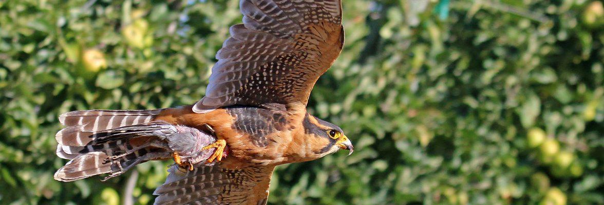 Aplomado Falcon Flying Through an Orchard