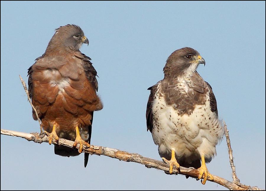 Rufous and Light Swainson's Hawks