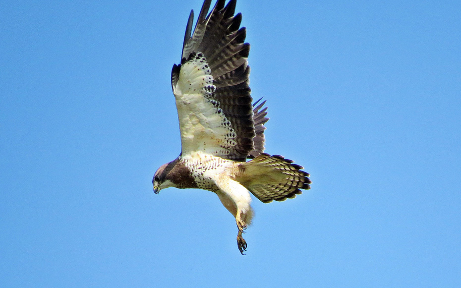 A Hovering Swainson's Hawk