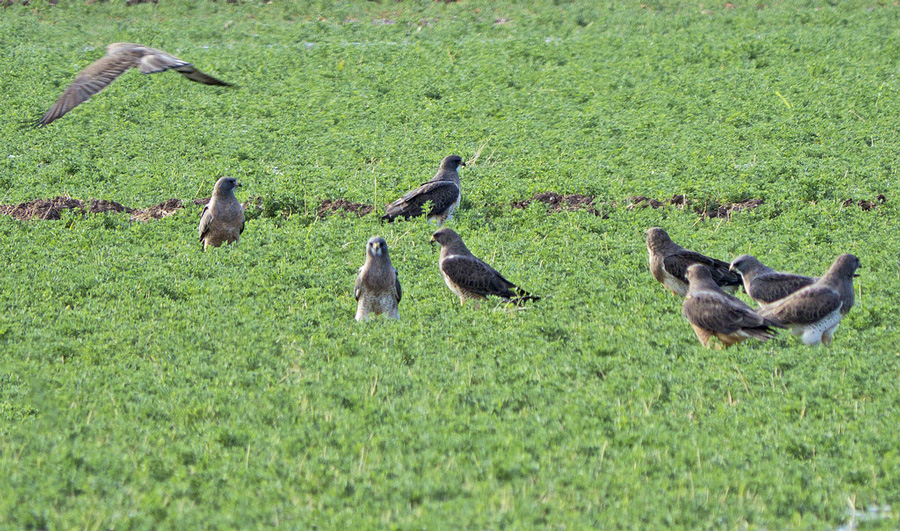 A Group of Swainson's Hunting On the Ground