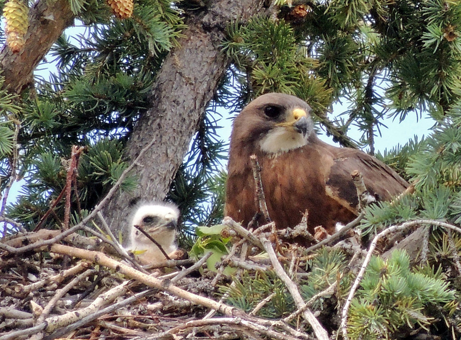 Swanson's Hawk with a Chick