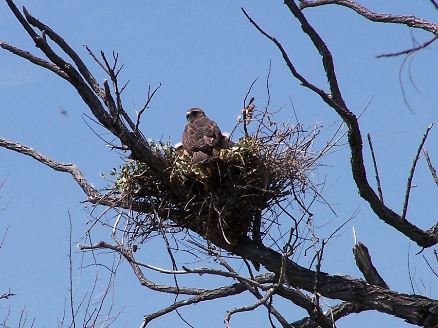 Parent Swainson's Hawk tending to chicks in a stick nest in a tree.