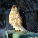 Adult Sharp-shinned Hawk perched on the railing of a deck.