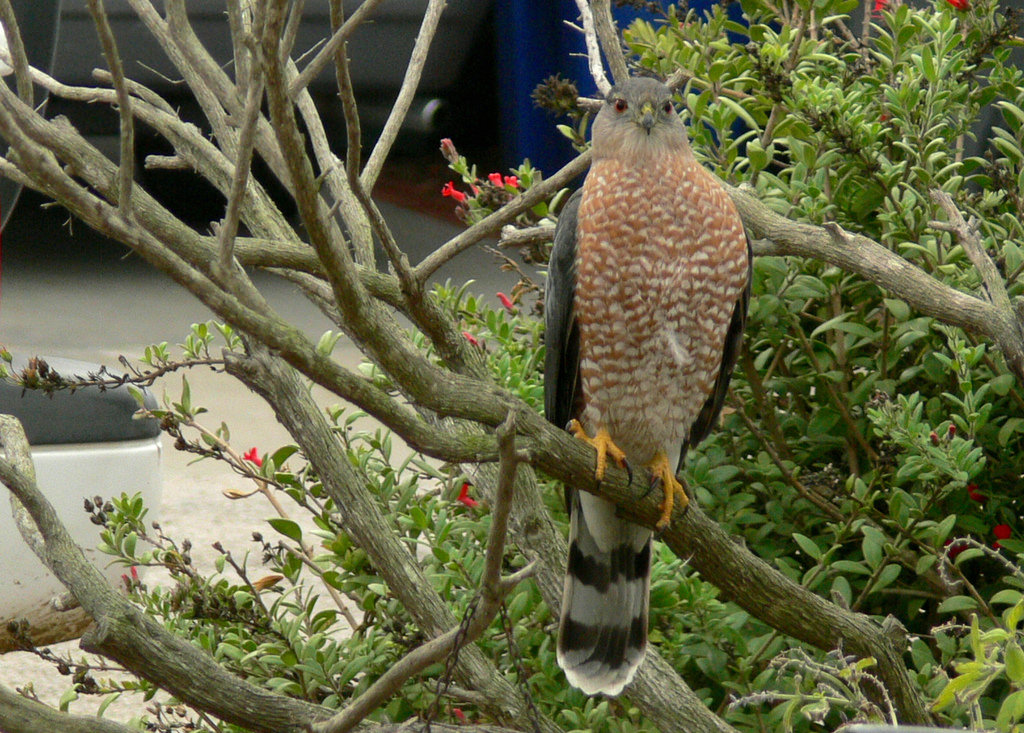 Adult Copper's Hawk Perched On a Tree Branch