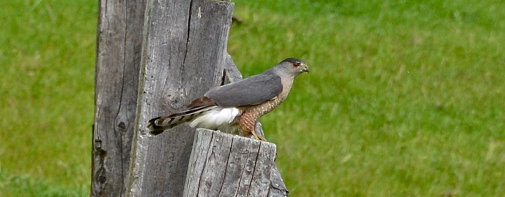 An Adult Cooper's Hawk with a blue-gray back by Linda Tanner