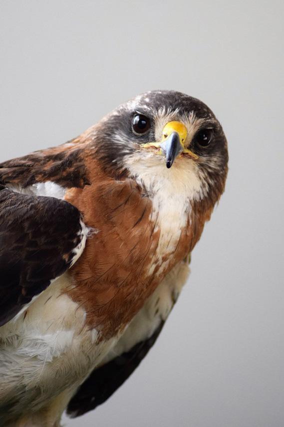 Meet Hayden, a Swainson's Hawk living at the Draper Museum Raptor Experience.