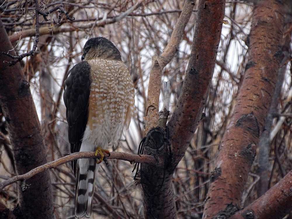 Sharp-shinned Hawk perched in a tree.