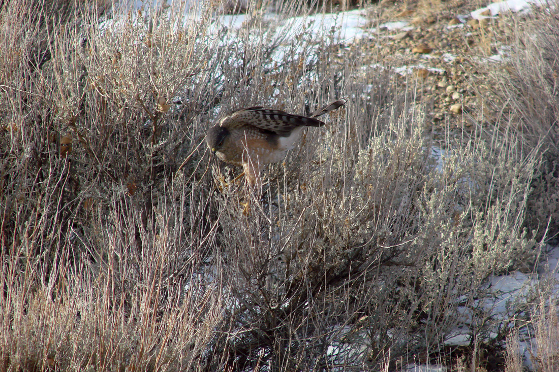 Sharp-shinned Hawk trying to flush sparrows from the sage brush.