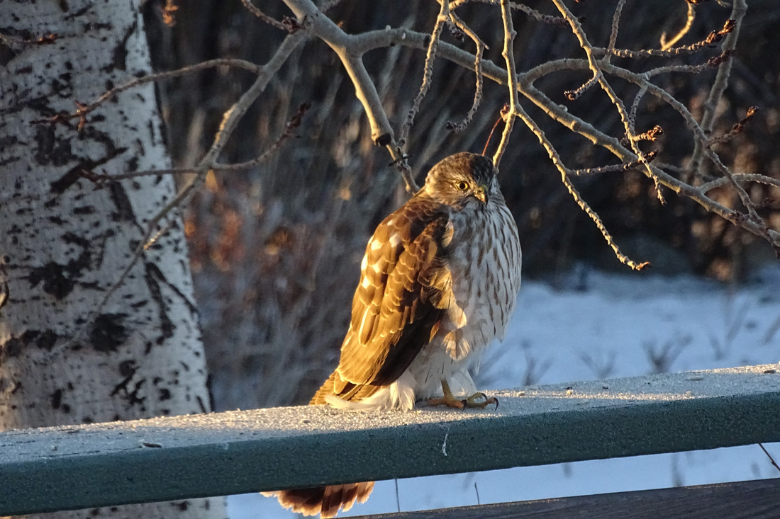 Immature Sharp-shinned Hawk perched on a deck railing.