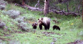 """Museum Minute: Yellowstone's """"Most"""" Famous Bear: Bear 104"""