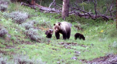 Bear 104 & cubs in the wild