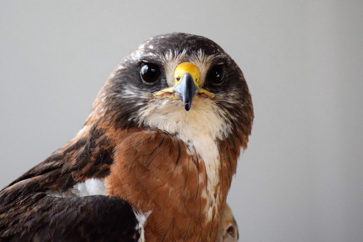 Hayden, the Draper Museum Raptor Experience's handsome Swainson's Hawk.