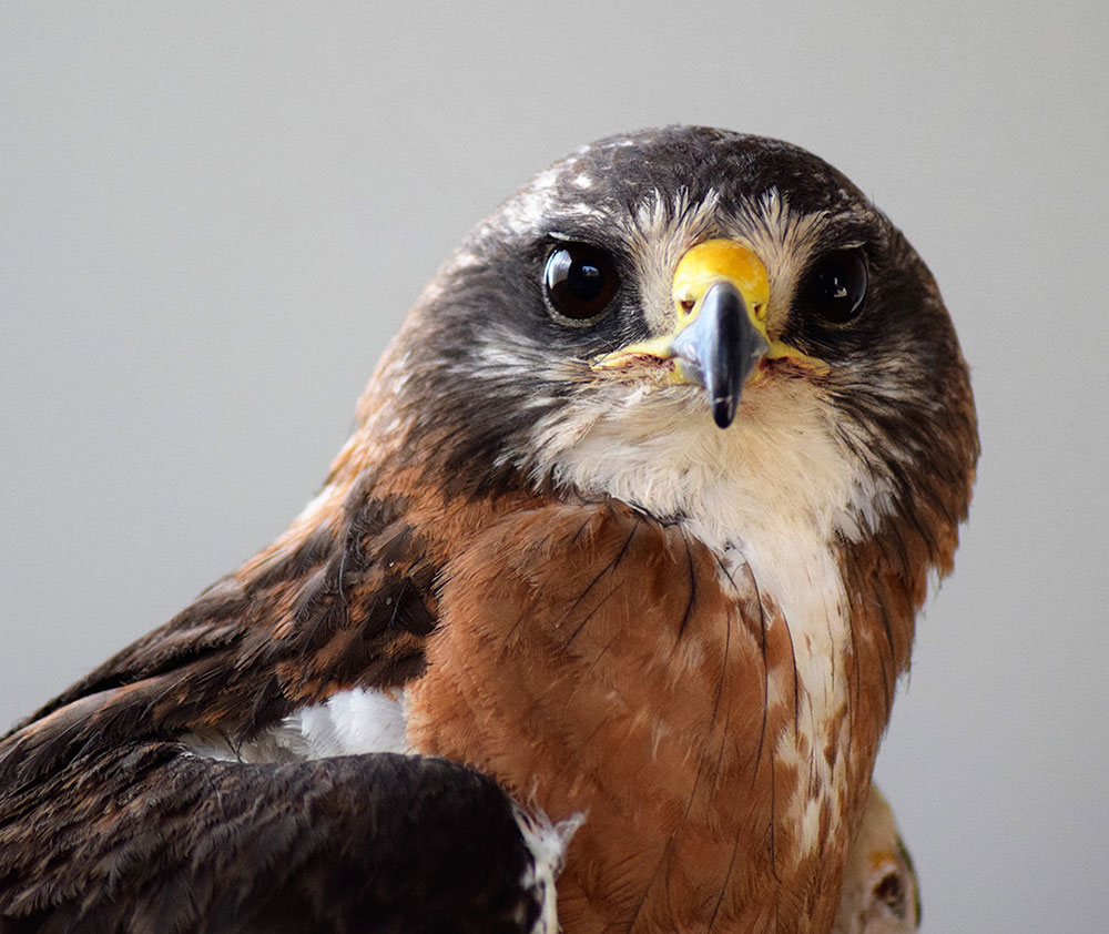 Draper Museum Raptor Experience: Hayden the Swainson's hawk