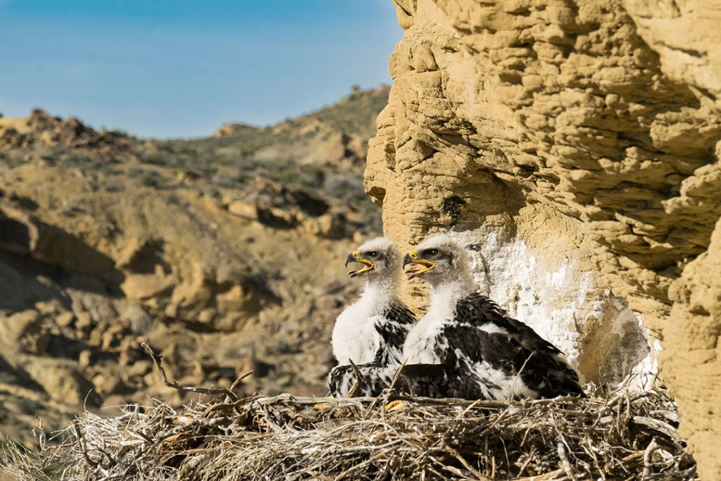Two golden eagle nestlings in the Rattlesnake Gulch nest await a food delivery from their parents in 2017. Moosejaw Bravo Photography.