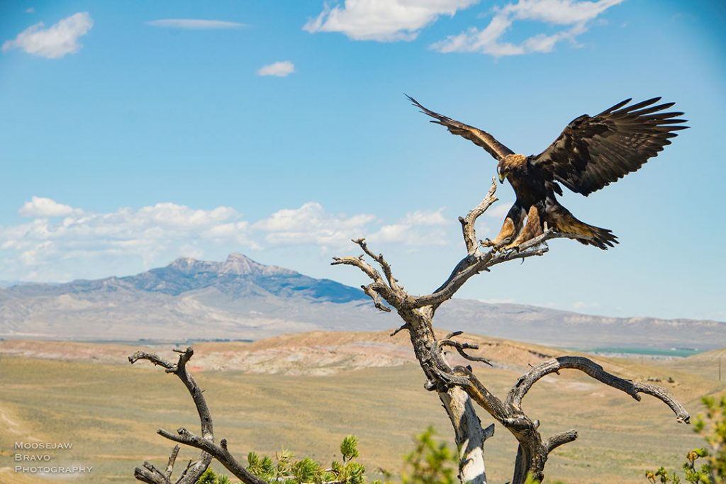 "A Wyoming Bighorn Basin golden eagle (Moosejaw-Bravo Photo). The ""Monarch of the Skies"" exhibition shares golden eagle research."