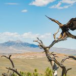 East of Cody, Wyoming, with Heart Mountain as the backdrop, a golden eagle alights on a branch. Moosejaw Bravo Photography.