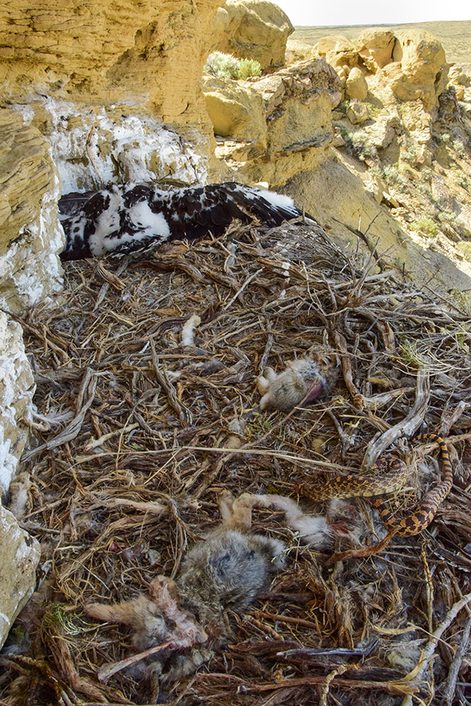 Partially-eaten prey, including cottontails and a bullsnake occupy the foreground of the Rattlesnake Gulch nest while two resting golden eagle nestlings occupy the background. Moosejaw Bravo Photography.