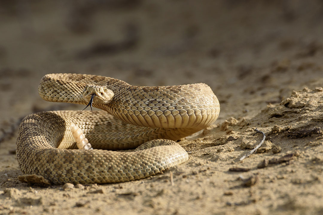 One of the namesake denizens of Rattlesnake Gulch. Moosejaw Bravo Photography.