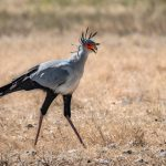 Secretarybird (or Secretary Bird) walking in a field.