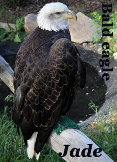 Jade the bald eagle