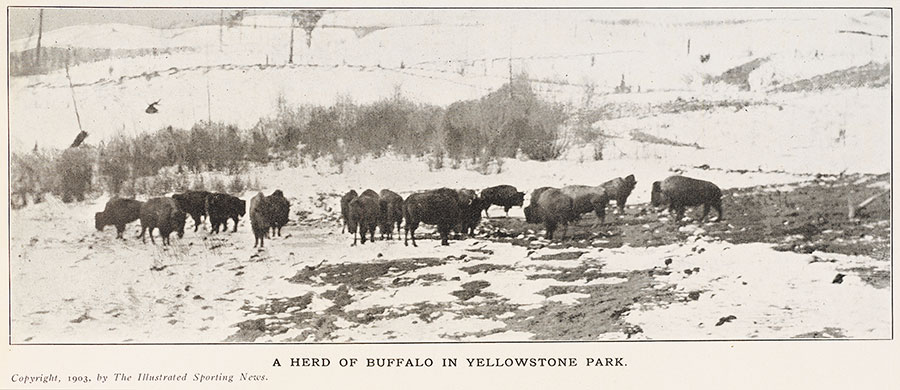 A Herd of Buffalo in Yellowstone Park. 1903, The Illustrated Sporting News.