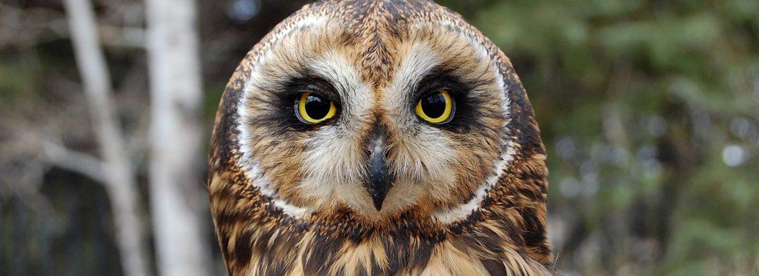 A Short-eared Owl