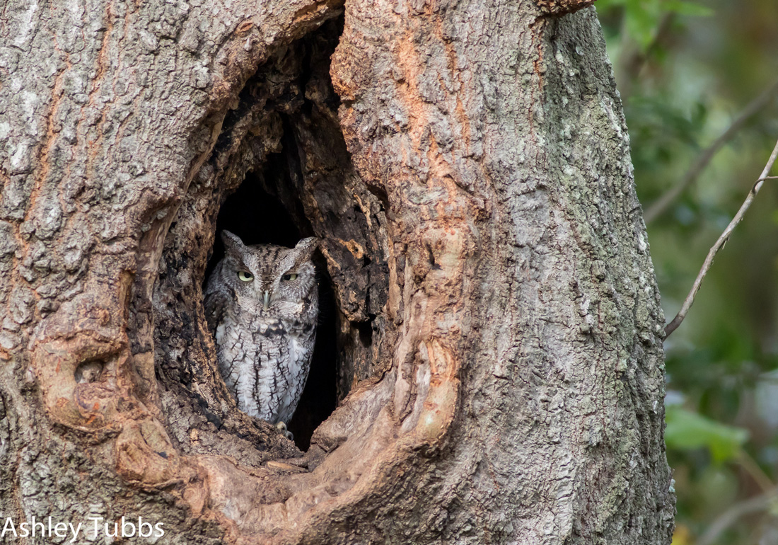 Eastern Screech Owl Within a Tree Hole