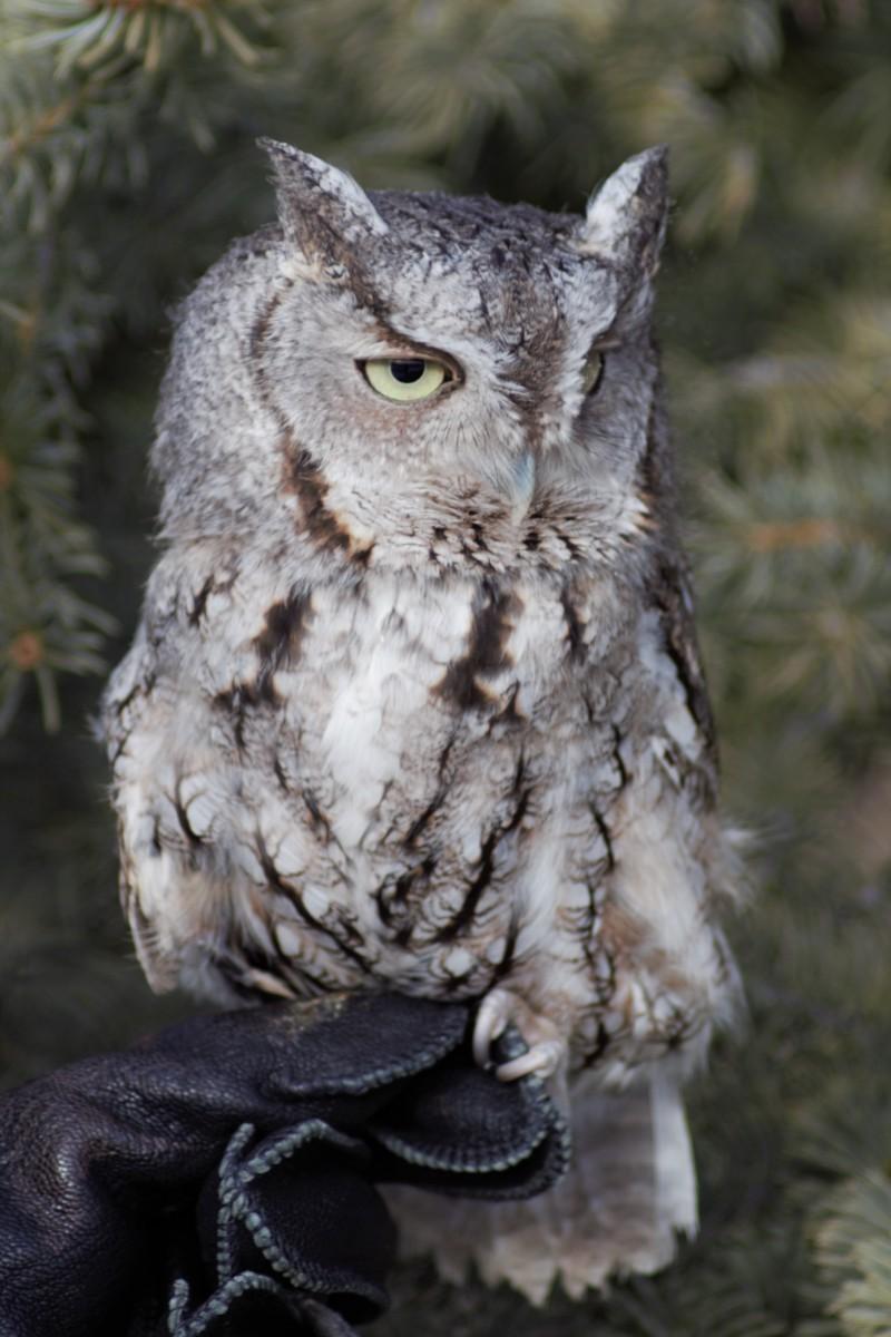 Eastern Screech Owl, Monte in 2018