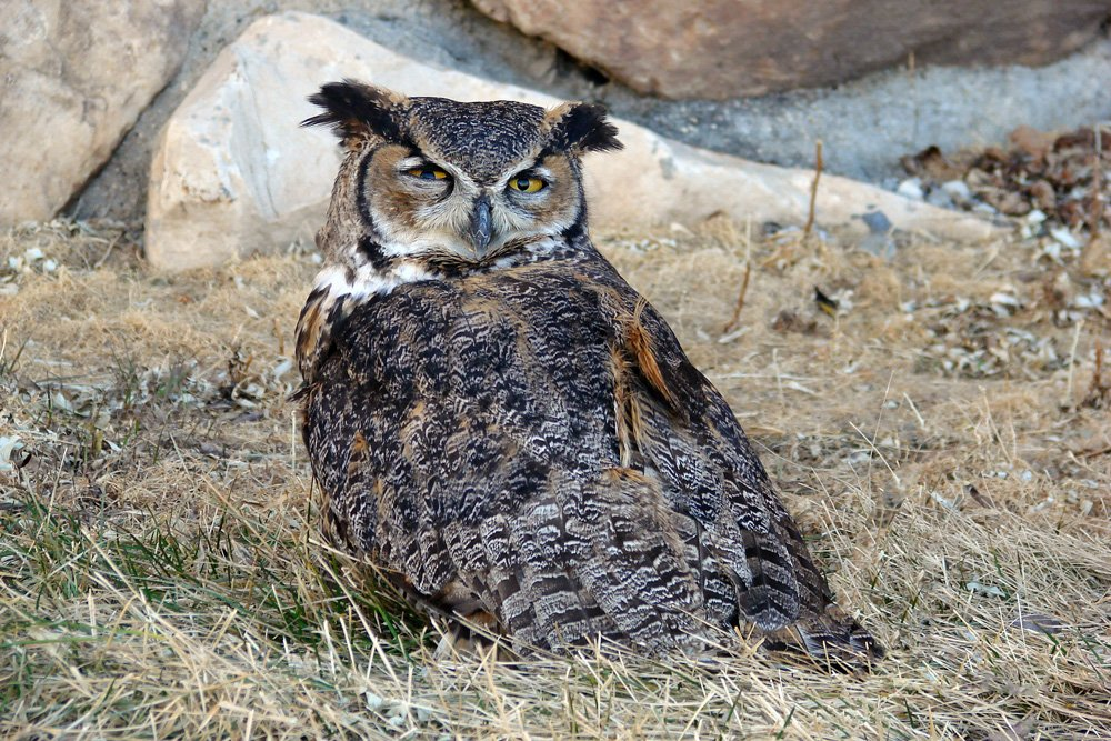 Tasdale, a Great Horned Owl, Standing on the Ground at the Buffalo Bill Center of the West