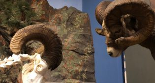 Museum Minute: The Bighorn Rams of Christmas Eve 2000