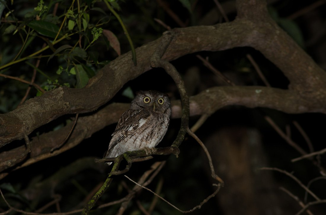 An Eastern Screech Owl Perched in a Tree at Night