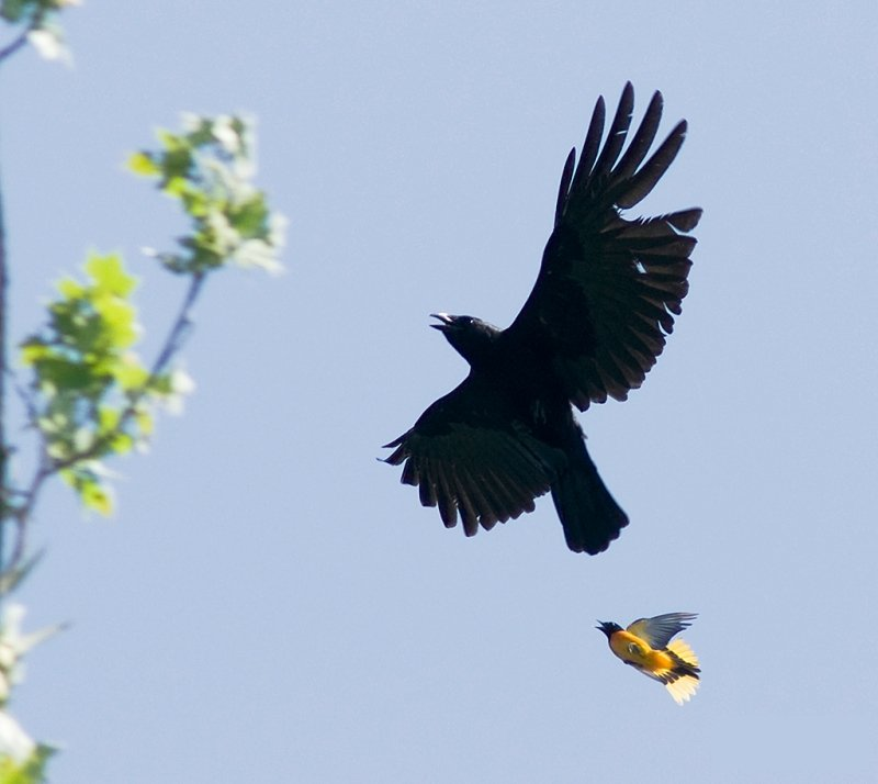 Crow mobbed by Baltimore Oriole in White Clay Creek State Park, Delaware.