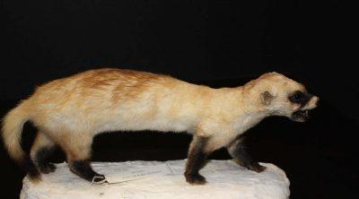 Black-footed ferret. DRA.305.100