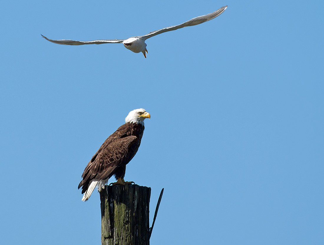 This Bald Eagle barely responded to the repeated circling and vocalizing of the seagull.
